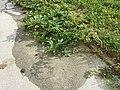 Amaranthus viridis sl49.jpg
