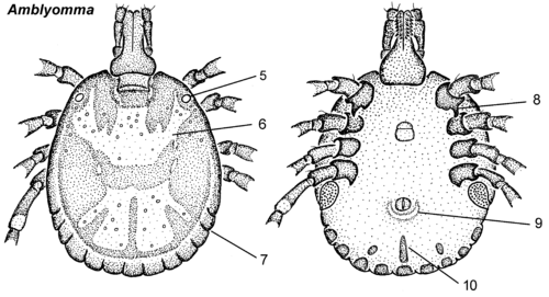 Amblyomma male dorsal ventral.png