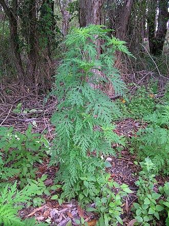 Ambrosia artemisiifolia - Image: Ambrosia artemisiifolia plant 7 (11741895306)