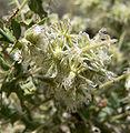 Ambrosia eriocentra 8.jpg