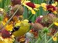 American Goldfinch male (168884898).jpg