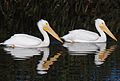 American White Pelicans on Adobe Creek Dec.jpg