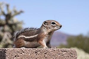 Harris's antelope squirrel - Image: Ammospermophilus harrisii 2