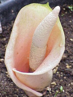 Amorphophallus - Amorphophallus bulbifer