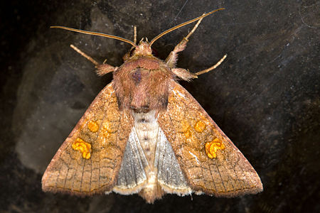 Amphipoea fucosa, Lodz(Poland)01(js).jpg