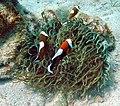 Amphiprion polymnus, Filipinas.jpg