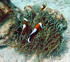Amphiprion polymnus, Filipinas.jpg