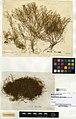 Amphisbetia operculata (MNHN-IK-2014-1751) 002.jpeg