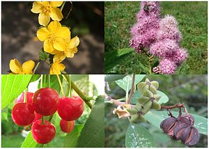 Amygdaloideae - (clockwise from top-left) Kerria japonica, Spiraea sp., Exochorda racemosa, Prunus cerasus