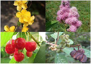 Amygdaloideae subfamily of plants