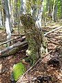 An example of the beech forest.jpg