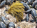 Analipus japonica (10106970715).jpg