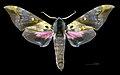 Anambulyx elwesi MHNT CUT 2010 0 146 Chiang Mai, Thailand, male dorsal.jpg