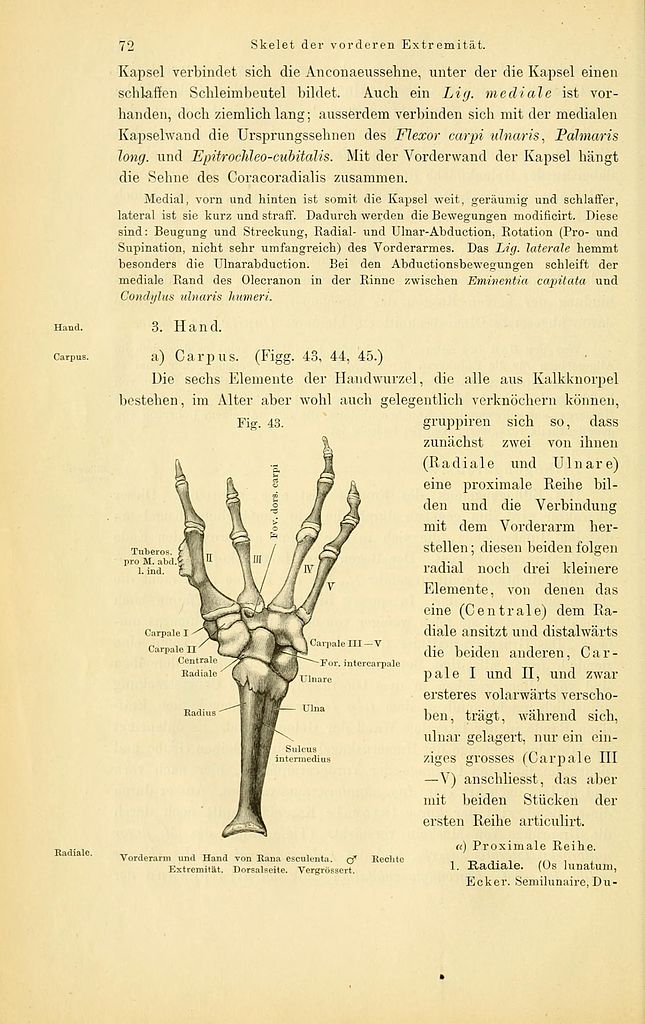 File:Anatomie des Frosches (Page 72, Fig. 43) BHL4404670.jpg ...