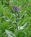 Anchusa officinalis RF.jpg