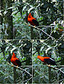 Andean Cock-of-the-rock (Rupicola peruviana) - male -collage of 3.jpg