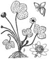 Anemone americana BB-1913.png