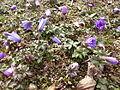 Anemone blanda in Jardin des Plantes - buds about to open 02.JPG