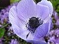 Anemone coronaria InEngland denoised.jpg