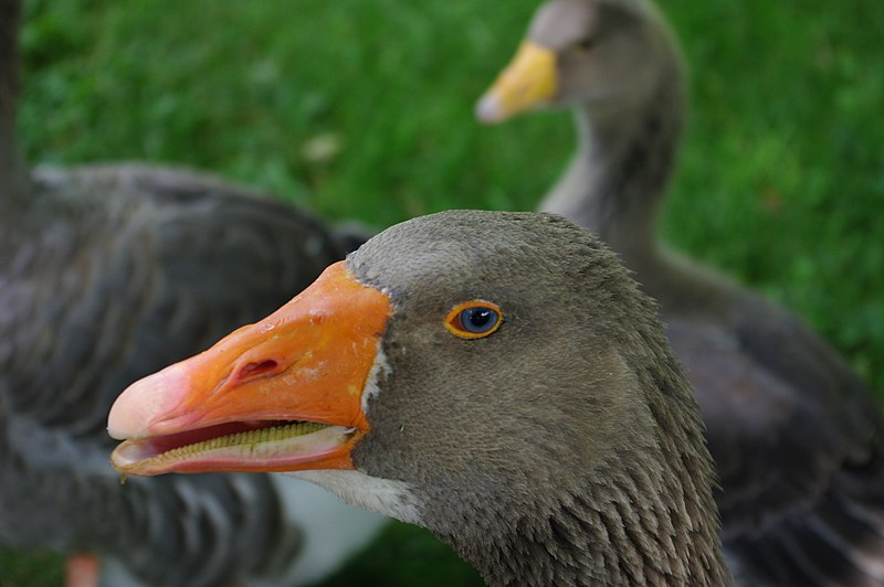 File:Angry Goose (2622447410).jpg
