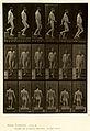 Animal locomotion. Plate 127 (Boston Public Library).jpg