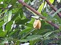 Annona montana, aticum - Flickr - Tarciso Leão (8).jpg
