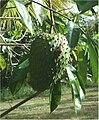 Annona muricata Rio Caura Venezuela.jpg