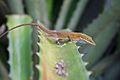 Anolis porcatus on Aoe vera leaves.jpg