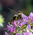 Anthidium species . ( florentinum^ ). Megachilidae - Flickr - gailhampshire (2).jpg