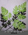 Anthriscus cerefolium var. longirostris sl7.jpg