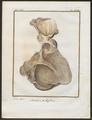 Antilope spec. - ingewanden - 1700-1880 - Print - Iconographia Zoologica - Special Collections University of Amsterdam - UBA01 IZ21400079.tif