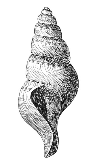 Gastropod shell - The left-handed turrid (Antiplanes vinosa)