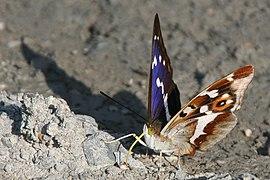 Apatura iris Weinsberg 20080618 4.jpg