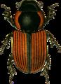 Aphodius nitidulus Jacobson.png