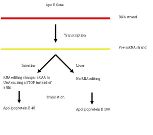 RNA editing - The effect of C-to-U RNA editing on the human ApoB gene