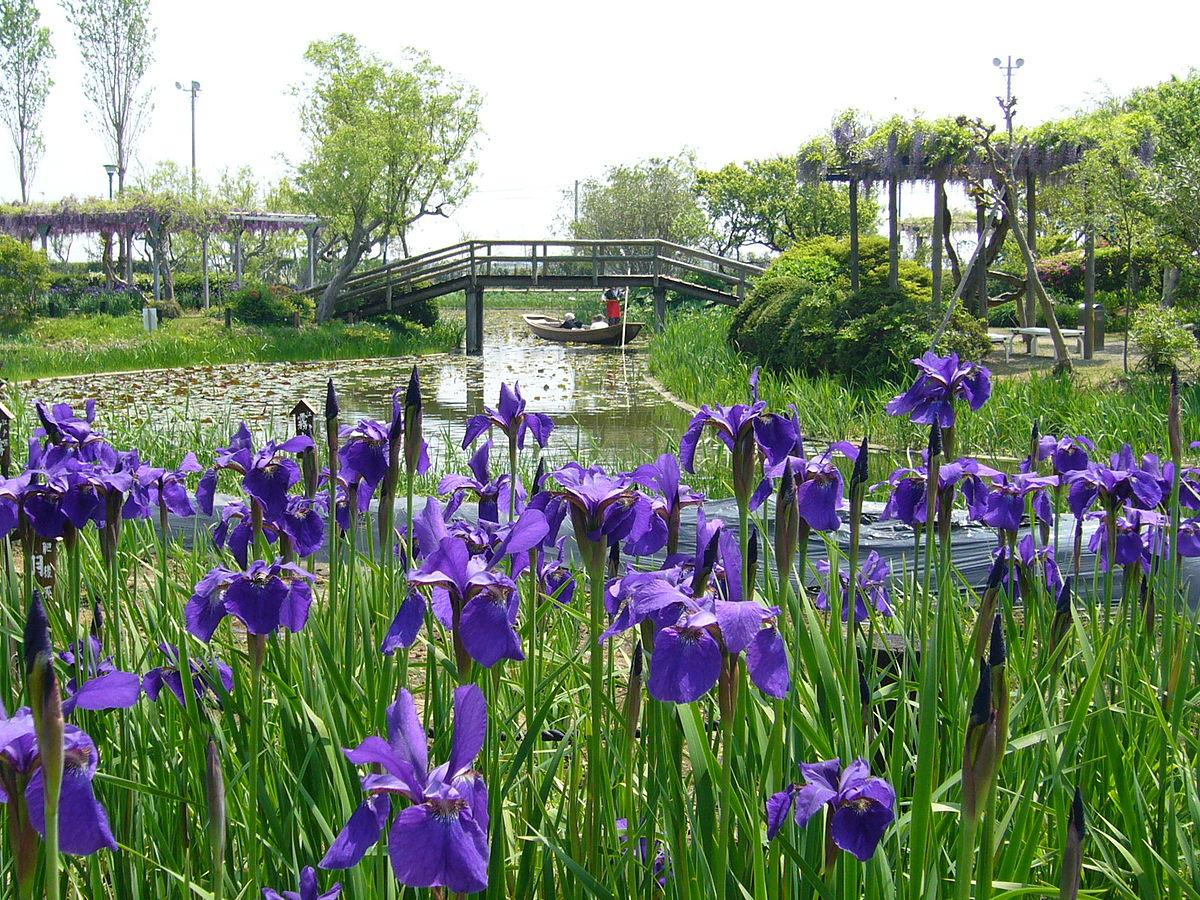 Iris sanguinea wikidata for Japanese water plants