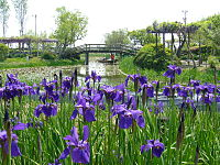 Aquatic-plant-garden-irides,sawara,katori-city,japan