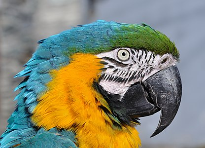Portrait of a Blue-and-yellow Macaw