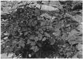 Aralia bicrenata. A rare plant, found in Grotto. - NARA - 520505.tif
