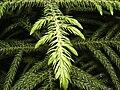 Araucaria Leaves-1.JPG