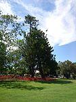 Araucaria cunninghamii in Collins Park.jpg