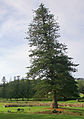 Araucaria heterophylla Kingston 2.jpg