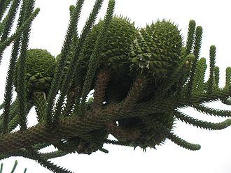 Araucaria heterophylla - Image: Araucaria heterophylla cones
