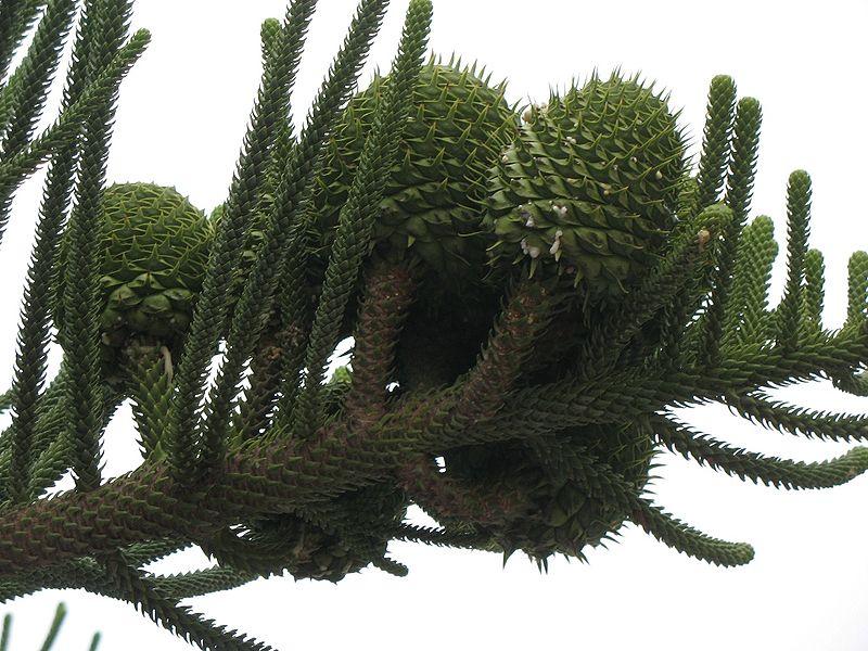 cônes femelles du pin de norfolk