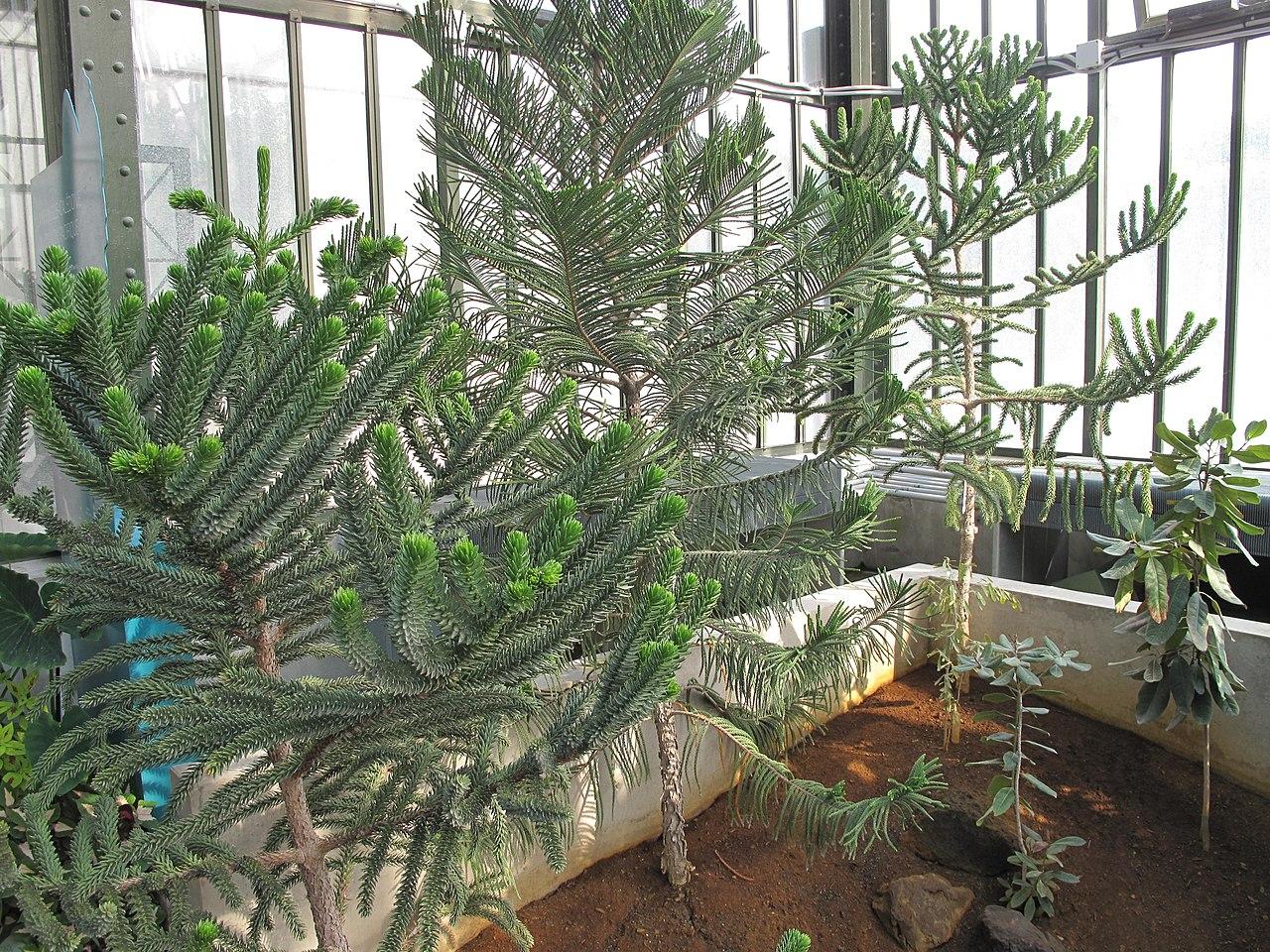 File araucarias in the jardin des plantes de - Jardin des plantes paris ...