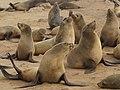 Arctocephalus pusillus (Cape fur seals).jpg
