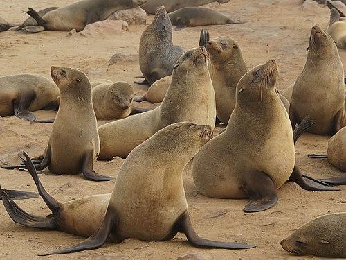[Image: 500px-Arctocephalus_pusillus_%28Cape_fur_seals%29.jpg]