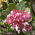 Arctostaphylos pringlei ssp drupacea 4.jpg
