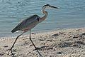Ardea herodias -Sanibel Island, Florida, USA-8.jpg