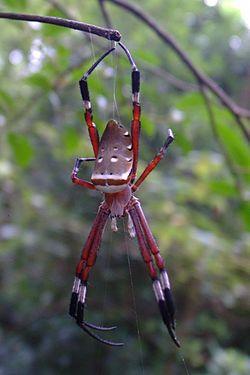 Argiope ocula female.jpg